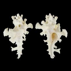 Homalocantha Zamboi (7)