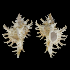 Chicoreus Cnissodus (2)