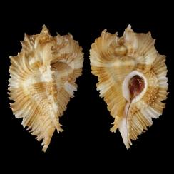 Chicoreus Miyokoae (3)