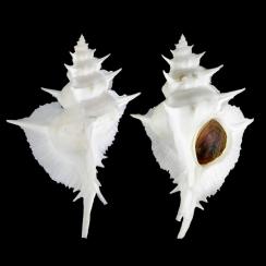 Siratus Alabaster (1)