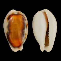 Neobernaya Spadicea (1)