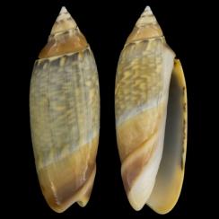 Agaronia Gibbosa (2)