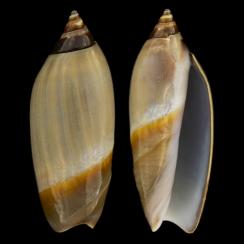 Agaronia Propatula (2)