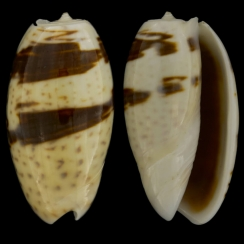 Oliva Bulbosa f. Bicingulata  (2)