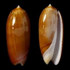 Oliva Irisans f. Cryptospira (3)