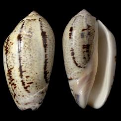Oliva Incrassata (3)