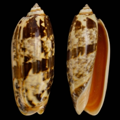 Oliva Miniacea (1)