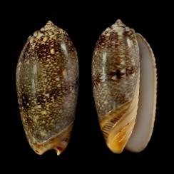 Oliva Reticulata (3)