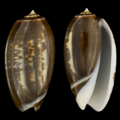Oliva Tigrina f. Fallax (8)