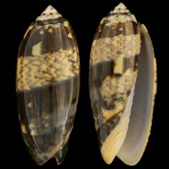 Oliva Tremulina f. Flammeacolor (4)