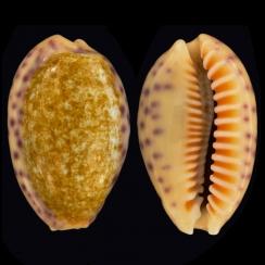 Ovatipsa Chinensis Variolaria (2)