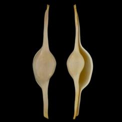Ovulidae (6)