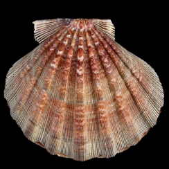 Nodipecten Subnodosus (9)