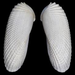 Pholadidae (1)