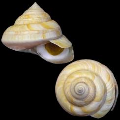 Bayerotrochus Westralis (1)