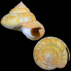 Bayerotrochus Teramachii (6)