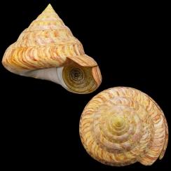 Entemnotrochus Rumphii (2)