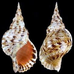 Ranellidae (6)