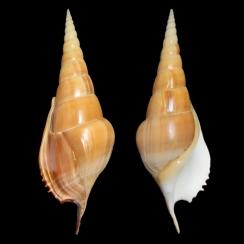 Tibia Insulaechorab (3)