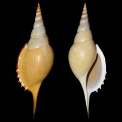 Rostellariidae (8)