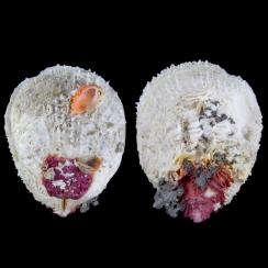 Spondylidae (16)