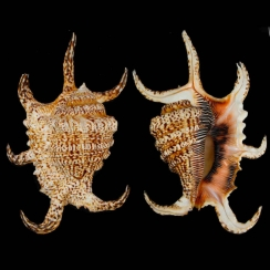 Harpago Arthriticus (1)