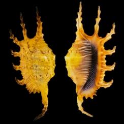 Lambis Scorpius Indomaris (5)