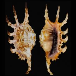 Lambis Scorpius (3)
