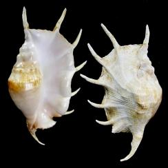 Lambis Truncata (1)