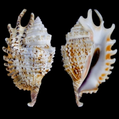 Ophioglossolambis Violacea (2)