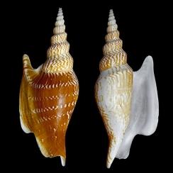 Mirabilistrombus Listeri (1)