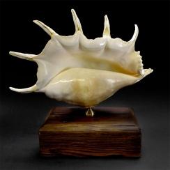 Strombidae and Design (3)