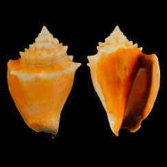 Strombus Alatus (3)