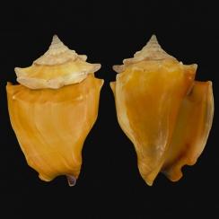 Strombus Pugilis (3)