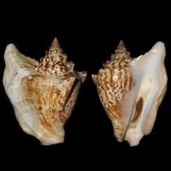 Tricornis Tricornis (1)