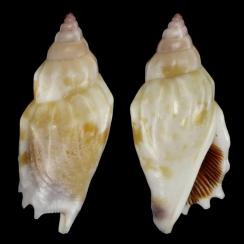 Tridentarius Dentatus (1)