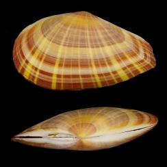 Tellinidae (9)