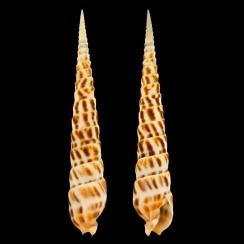 Terebridae (27)