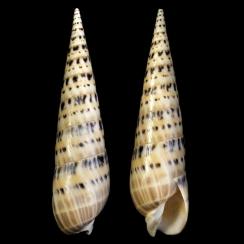 Oxymeris Maculata (9)