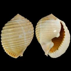 Tonnidae (5)