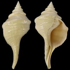 Turbinellidae (7)