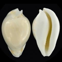 Umbilia Hesitata Hesitata F. Howelli (1)