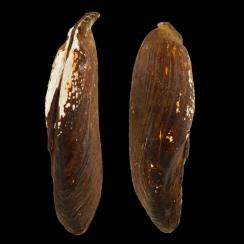 Unionidae (2)