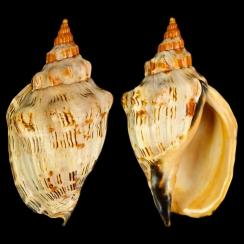 Volutidae (91)