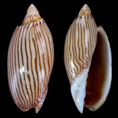 Amoria Jamrachii (2)