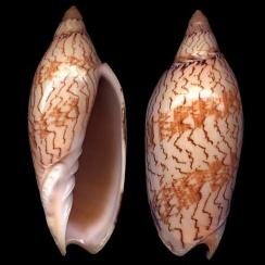 Amoria Damonii (2)