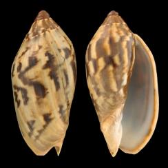 Cymbiola Cathcartiae (1)
