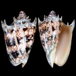 Cymbiola Imperialis (12)