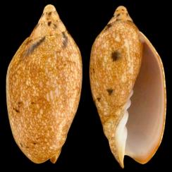 Cymbiola Innexa f. Marispuma (4)