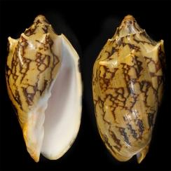 Cymbiola Vespertilio (2)